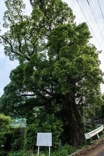 亀浦郷の大楠(長崎県西海市)