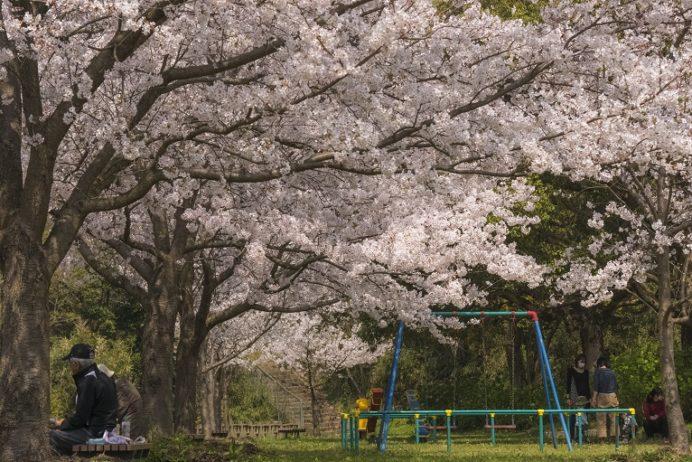 神ノ島公園(長崎市)の桜と花見