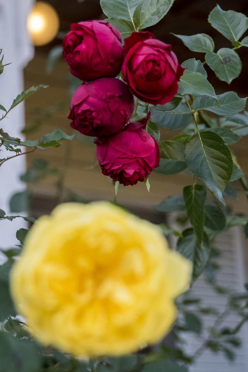 南山手レストハウス(旧清水氏住宅、南山手乙27番館) に咲くバラ