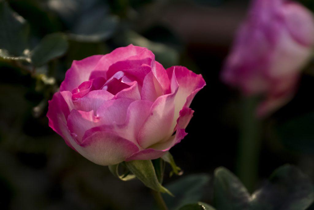 南山手レストハウス(旧清水氏住宅、南山手乙27番館)庭園のバラ