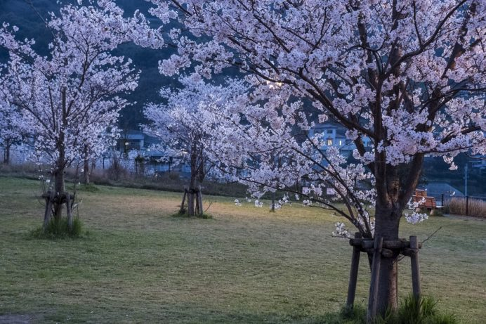 出雲近隣公園(長崎市)の桜と花見(夜)