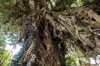あこう樹(奈良尾神社)【長濱ねる聖地巡礼】ねるちゃんマップ|上五島