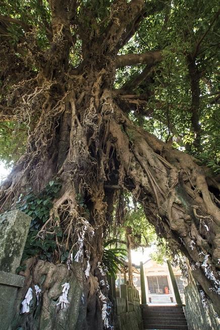 奈良尾神社のアコウ樹(上五島)