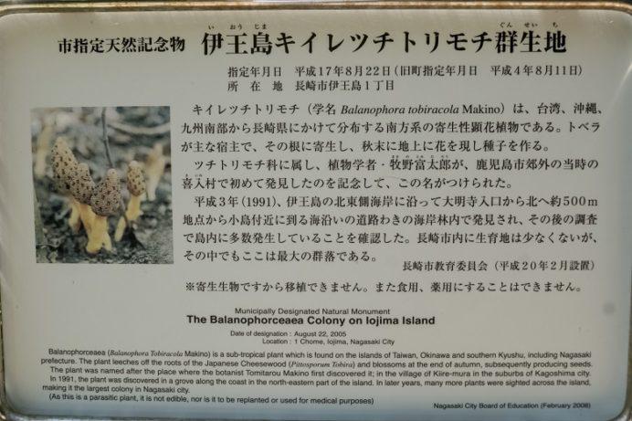 伊王島灯台のキイレツチトリモチ群生地