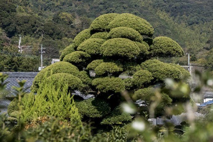迎仙閣(長崎市松原町)から見える日本一のラカンマキ