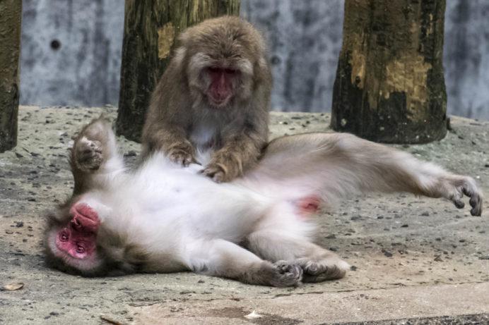 稲佐山公園(長崎市)の猿舎のニホンザル