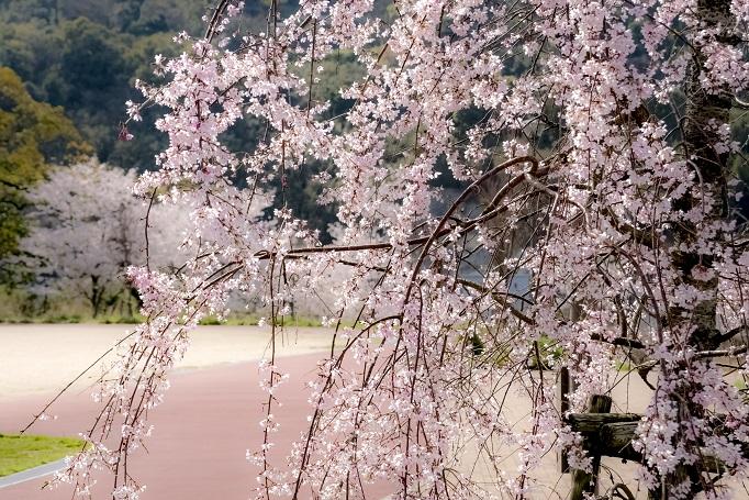 出雲近隣公園(長崎市)の桜と花見(枝垂桜)