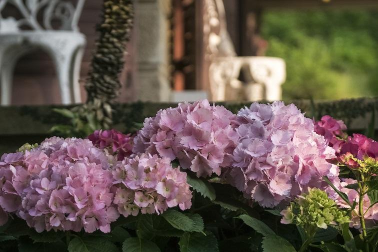 グラバー園(長崎市南山手町)のアジサイ(ながさき紫陽花まつり)