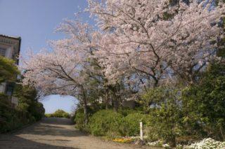 【見頃速報2021】「グラバー園の桜2021」(長崎市)~ドレスでの記念撮影。全力でオススメ!