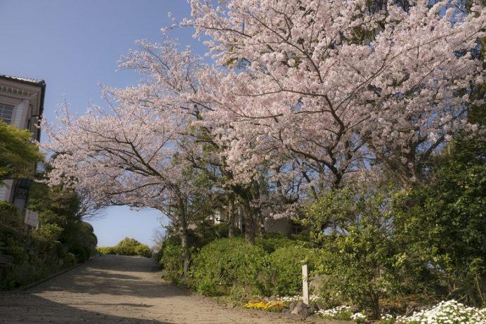 「グラバー園の桜2020」(長崎)【ドレスでの記念撮影。全力でオススメ!】