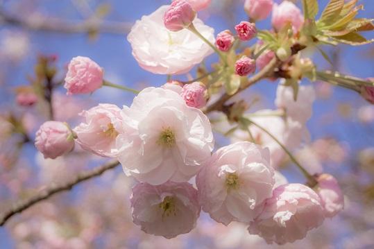 立山公園(長崎市)の桜と花見