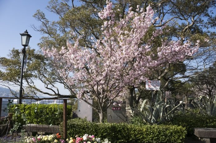 グラバー園(長崎市南山手町)のTEIKO桜(アーコレード)