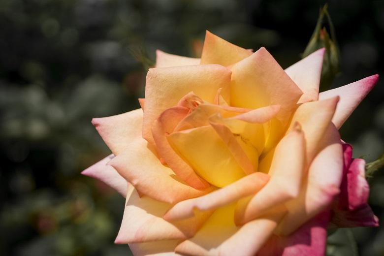 グラバー園(長崎市南山手町)のバラ