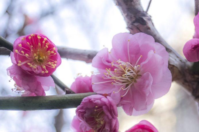 梅園身代り天満宮(長崎市丸山町)の梅