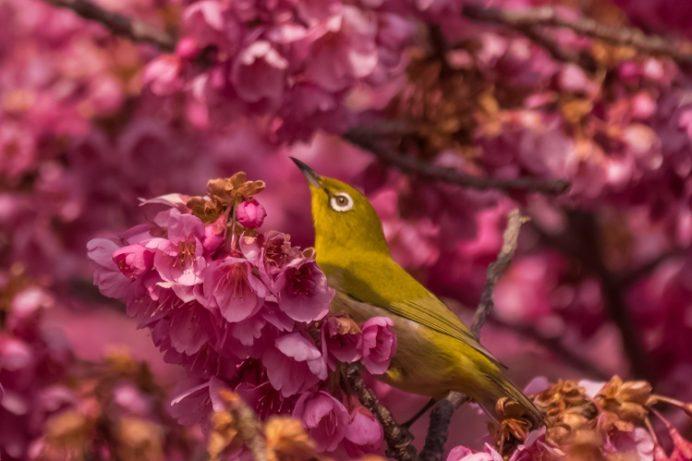 鍋島邸の緋寒桜(島原半島の雲仙市国見町)