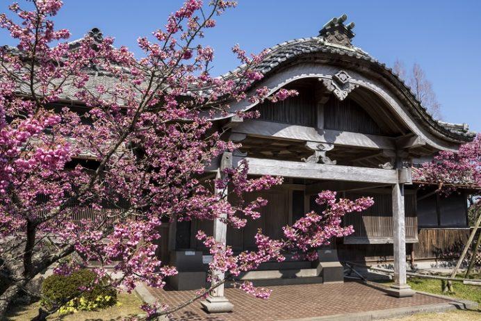 鍋島邸、緋寒桜の郷まつり(島原半島の雲仙市国見町)