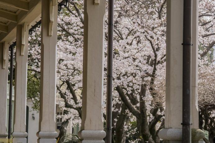 東山手十二番館(長崎市)の桜と花見
