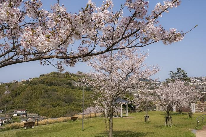 「出雲近隣公園の桜」(長崎市)【子供連れの花見にイイヨ】無料駐車場付き