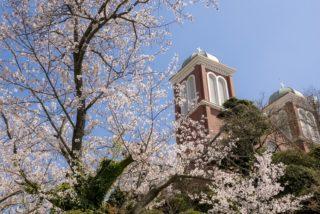 「浦上天主堂の永井千本桜」(長崎市)【原木が見れるのは、あと僅か】