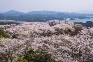 「大山公園の桜2020」(松浦市福島)【正確な開花情報をお届け!】~SSS級の穴場SPOT