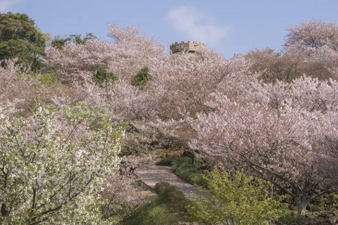 「四本堂公園の桜2020」(西海市)【花見の穴場、最強SPOT】~BBQできる!