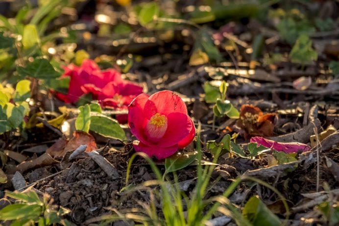 花の森公園(佐世保市野崎町)の桜と花見