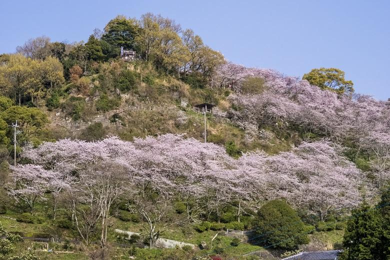 とけん山公園(島原半島、雲仙市の小浜)の桜と花見
