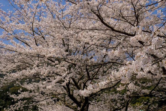 長与ダム(西彼杵郡長与町本川内)の桜と花見