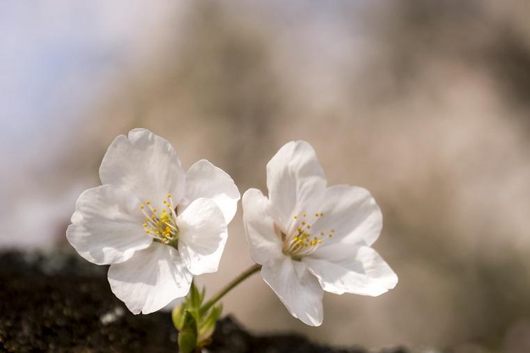 和三郎憩いの広場(長崎県西彼杵郡長与町)の桜と花見