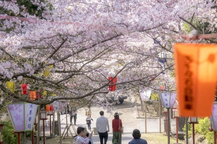 橘神社(長崎県雲仙市千々石)の桜と花見