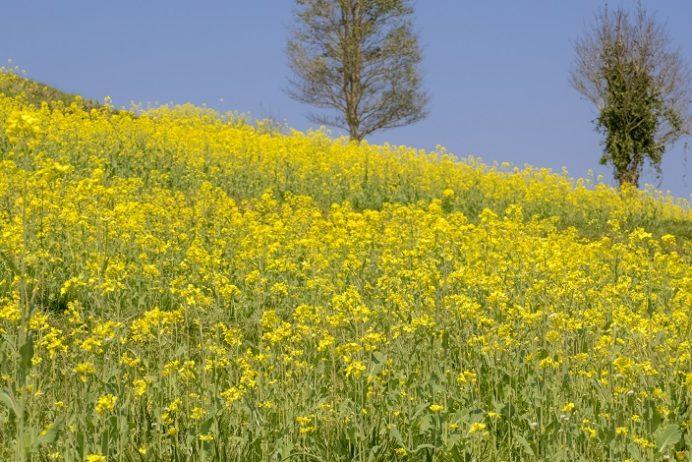 社が丘花園(長崎市琴海町)の菜の花