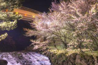 【満開日いつ?開花速報2021!】「橘神社の桜」(雲仙市)~ライトアップ夜桜で花見