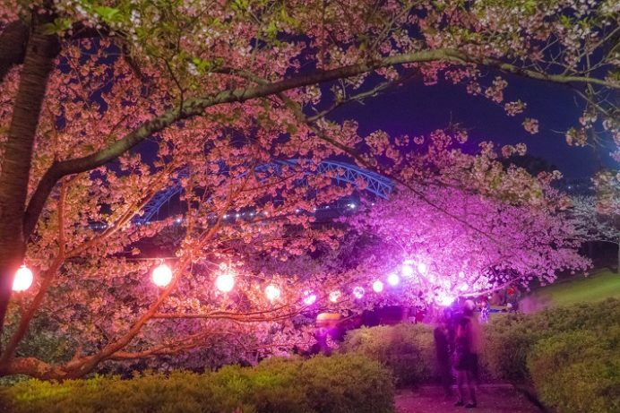 西海橋公園(佐世保市針尾東町)の桜と花見のライトアップ