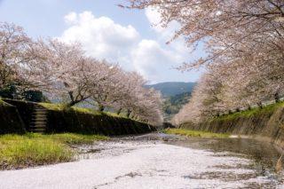 「琴海戸根川の桜」(長崎市)【2キロの桜並木&菜の花畑!極上空間!】