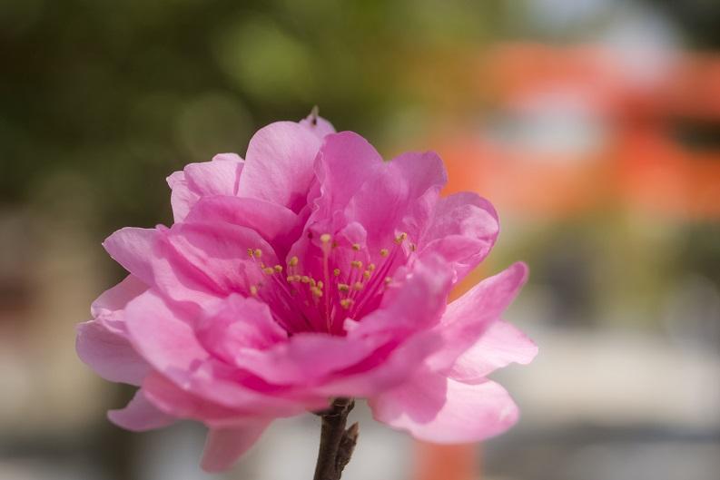 淵神社(長崎県長崎市淵町、稲佐山麓)の桜