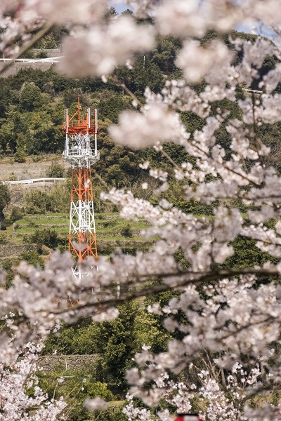 ダム(西彼杵郡長与町本川内)の桜と花見
