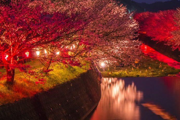 夜ライトアップされた琴海戸根川沿い(長崎市)の桜と花見