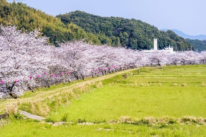 琴海中央公園(長崎市)の桜と花見