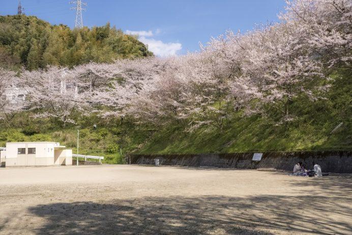 三川公園(長崎市)の桜、花見