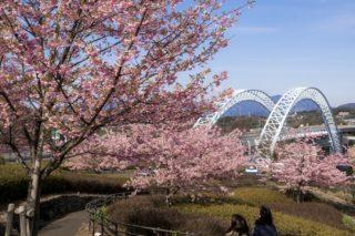 「西海橋公園の河津桜2020」【見頃はいつ?】~2月も花見できます