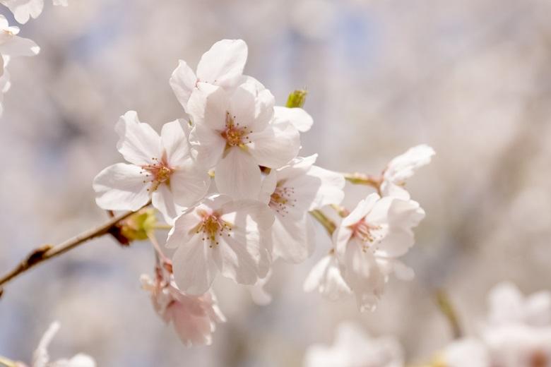 中尾城公園(長崎県西彼杵郡長与町)の桜と花見