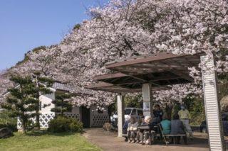 【開花速報2021!】「和三郎憩いの広場の桜」(長与町)~オーシャンビューでお花見