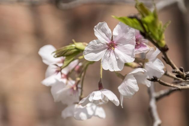 小菅修船場跡(長崎市小菅町、世界遺産)の桜