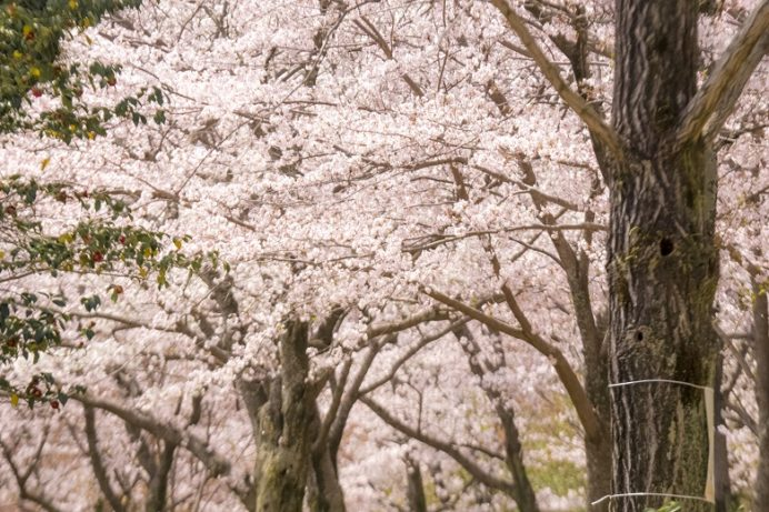 佐世保中央公園(佐世保市熊野町)の桜と花見