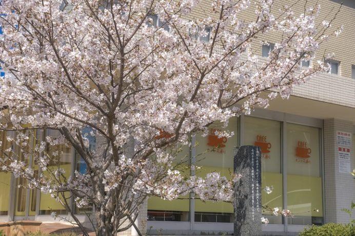 浦上天主堂(長崎市本尾町)の永井千本桜