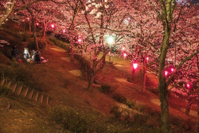 中尾城公園(長崎県西彼杵郡長与町)の桜と花見、夜桜とぼんぼり、ライトアップ