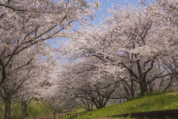 「神ノ島公園の桜」(長崎市)【花見の穴場SPOT~無料駐車場あり】