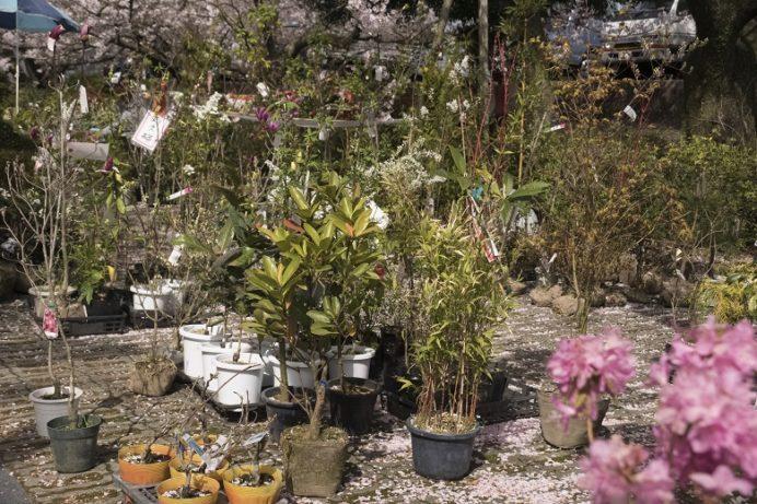 橘神社(長崎県雲仙市千々石)の桜と花見の出店