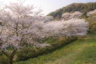「花の森公園の桜」(佐世保市)【展海峰と花見のハシゴしよう!】