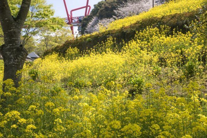 中尾城公園(長崎県西彼杵郡長与町)の桜と花見、菜の花